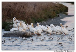 american-white-pelicans-palo-alto-baylands-2103